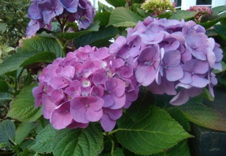 Hydrangea - hydrangea, london, flower, beautiful, pink