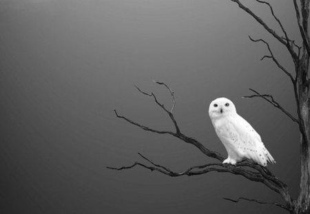 snow owl - contrast, white, dead tree, tree, black, owl, bare twigs