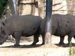 Rhino Pals Sharing the Shade