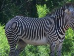Daydreaming Zebra - Larger View