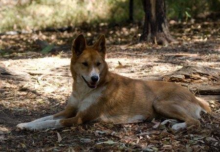 *** Wild Dog Dingo *** - dingo, zwierze, dziki, pies
