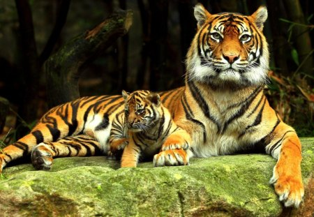 Mother and cup - tigers, belgium, catlover, conny
