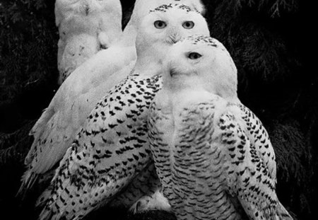 quartet - beauty, owls, white, birds