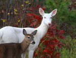 Albino Doe and Her Baby