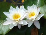 *** White Water Lilies ***