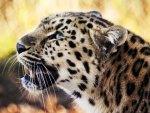 Leopard, Sahara, Africa