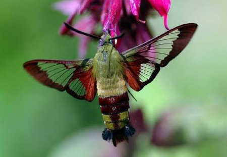 Hummingbird Clearwinged Moth - moth, insect, green, animal