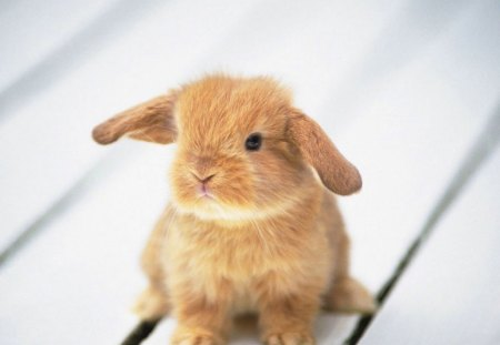 Adorable Fluffy Bunny - bunny, adorable, adorable fluffy bunny, fluffy, rabbit, cute, cute baby