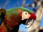 Hybid Macaw Parrot HD1080p
