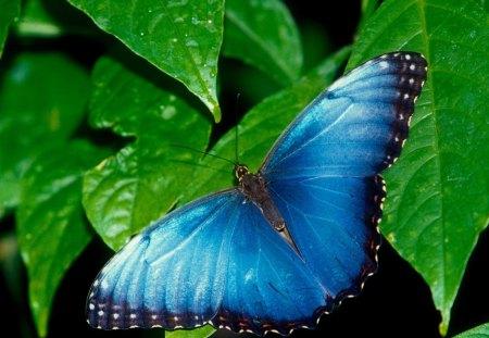 Untitled Wallpaper - butterflies, blue morpho