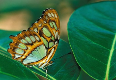Untitled Wallpaper - butterflies, malachite butterfly, malachite