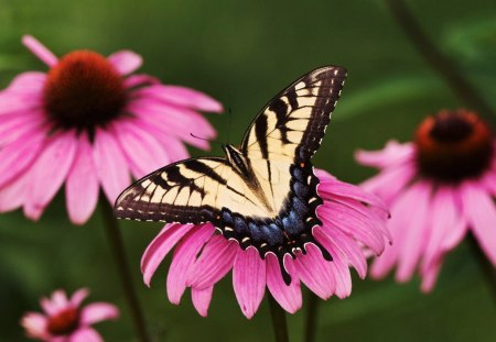 Untitled Wallpaper - swallowtail, butterflies