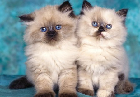 Two Cute Himalayan Kittens - kitten, cats, himalayan