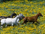 Horses Running Through Yellow Flowers