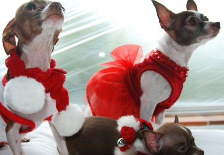 Chihuahua Christmas ♥♥♥ - celebrate, christmas, sweethearts, red, together, dogs, animals, chihuahua, holidays, forever, love