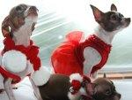 Chihuahua Christmas ♥♥♥