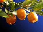 *** Apricots and drops of dew ...***