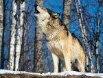 Morning Howl