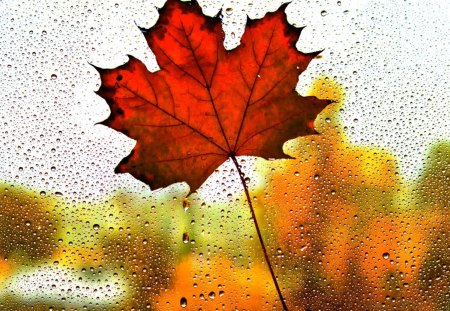 MAPLE in the RAIN - drop, leaf, glass, fall, macro, rain