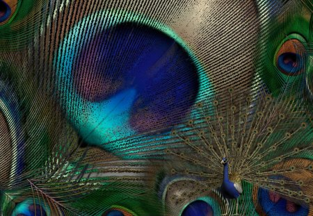Peacock Feathers - feathers, peafowl, exotic, bird, beautiful, pheasant, bright