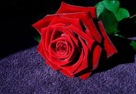 In Full Bloom - purple, rose, still life, black, red, leaves, flower