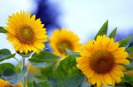 *** Sunflowers ***