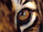 beautiful tiger