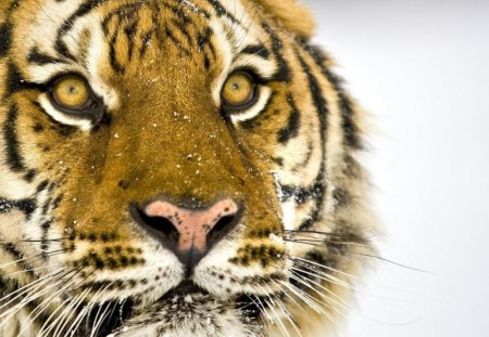 tiger face - Cats & Animals Background Wallpapers on Desktop