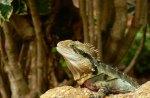 *** Iguana ***