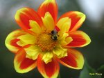 Bee on Collarette Dahlia