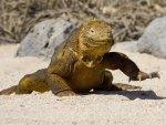 *** Galapagos Iguana ***