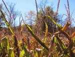 Autumn Corn Stalks