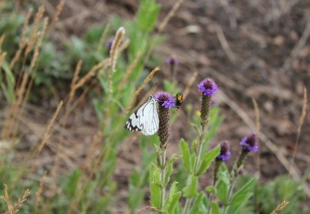 White butterfly and bee - close up, grass, bee, white butterfly, flower