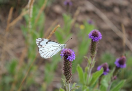 White butterfly - grass, close up, white butterfly, flower