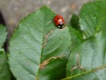 Ladybug on Rose Leaf