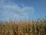 Blue Skies and Corn Fields
