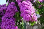 Purple Bougainvillea Beauty