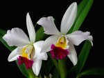 *** Beautiful White Orchids ***
