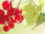 *** Red Currant ***