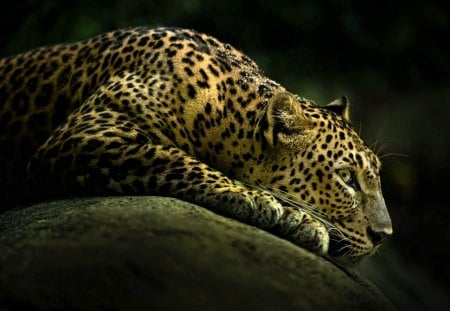 Leopard - leopard, detailed, hd, wild, 1080p, cat family, animal
