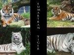Sumantran Tigers