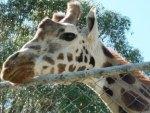 Giraf  -  01