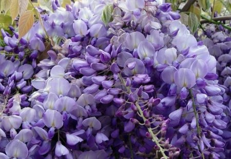 PURPLE  WISTERIA - flower, fence, glycine, wisteria