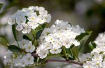 *** Fruit tree blossoms ***
