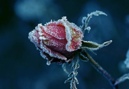 FROZEN HEART - iced, roses, seasons, buds, winter, cold, snow, ice, pink, blue