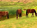 *** Horses on meadow ***