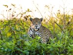 ***  Jaguar in meadow ***