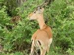 Impala eating