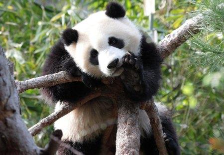 *** Panda Bear *** - misie, panda, zwierzeta, mis, ladowe