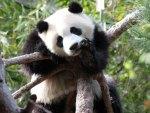 *** Panda Bear ***